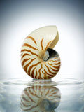 Nautilus Shell in a Still Pool of Water Photographic Print by Chris Stein