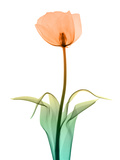 Tulip_10 Photographic Print by Peter Dazeley
