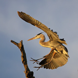 Great Blue Heron Landing Photographic Print by  bmse