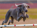 Weimaraner Photographic Print by Jim Frazee