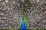 Blue Peacock Photographic Print by Dragan Todorovic