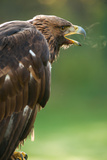 Golden Eagle with Freezing Breath Fotografiskt tryck av Olaf Broders
