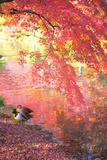 Japanese Maple Mallard Ducks in Autumn, Kyoto Prefecture, Honshu, Japan Photographic Print by  iplan/a.collectionRF