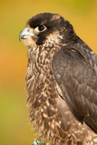 Juvenile Lanner Falcon (Falco Biarmicus) Portrait Photographic Print by Olaf Broders