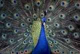 Peacock Photographic Print by PHOTO 24
