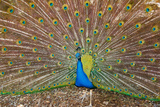 Peacock Attraction Photographic Print by Andi Surjanto