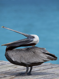 Brown Pelican Dock, Caribbean Photographic Print by Chel Beeson