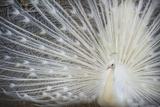 White Peacock Photographic Print by Aliraza Khatri's Photography