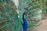 Peacock Photographic Print by  ruygatto