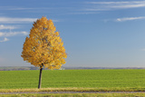 Autumnal Lime Tree Photographic Print by Cornelia Doerr