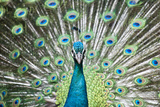 Peacock Photographic Print by Shui Ta Shan