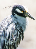 Yellow-Crowned Night Heron Photographic Print by Paul Frederiksen, Jr.