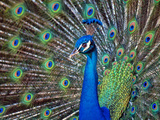 Magnificent Peacock Photographic Print by Sandra L. Grimm