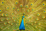Peacock Photographic Print by  asifsaeed313