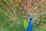 Peacock Photographic Print by Jeff R Clow