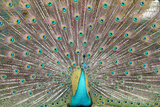 Dancing Peacock Photographic Print by Atul Tater