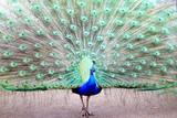 Peacock with Feathers Photographic Print by Natalie Chappin