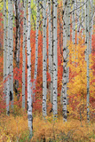A Forest of Aspen and Maple Trees in the Wasatch Mountains, with Striking Yellow and Red Autumn Fol Photographic Print by Mint Images - David Schultz