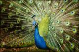Peacock Photographic Print by Tony Garcia