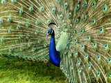 Peacock Photographic Print by This Image Belongs To Jean Turner