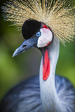 Grey Crowned Crane Photographic Print by Stuart Dee