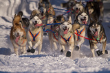 Iditarod Huskies Photographic Print by Alaska Photography
