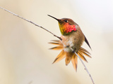 Allen's Hummingbird, Selasphorus Sasin Photographic Print by Cultura Science/Jouko van der Kruijssen