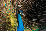 Peacock Photographic Print by Roberto Defraia