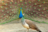 Peacock and Peahen Photographic Print by Daniela Duncan