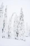Snowy Forest in Lapland, Finlanc Fotografisk trykk av  Risto0