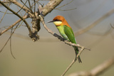 Chestnut-Headed Bee-Eater (Merops Leschenaulti). Photographic Print by Nicholas Reuss