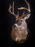 Whitetail Deer, Odocoileus Virginianus, Shoulder Mount with Black Background Photographic Print by Joshua Hultquist