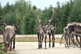 Reindeer - Kings of the Road in Lapland, Scandinavia Prints by  1photo