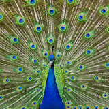 Peacock Displaying its Colorful Feathers Photographic Print by Stuart Dee