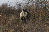Namibia Black Rhinoceros Standing amongst Bushes Posters by  Nosnibor137