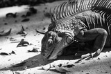 Iguana Searching for Food in Black & White Photographic Print by Quintin Gerber