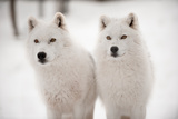 Arctic Duet Photographic Print by  pndtphoto