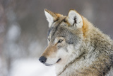 European Wolf in Winter Photographic Print by Roger Eritja