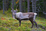 An Antlered Reindeer in Pine Forest Prints by  Valoor