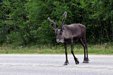 Wild Reindeer Crossing a Road in Lapland, Scandinavia Print by  1photo