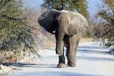 African Elephant Bull in Etosha Wildlife Reserve Prints by Carlos Neto