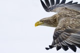 White-Tailed Sea Eagle Photographic Print by Jeremy Woodhouse