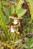 Wild Orchids from Mount Roraima, Venezuela Posters by  zanskar