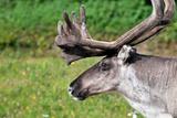 Closeup of Male Reindeer Head in Lapland, Scandinavia Photo by  1photo