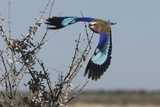 Lilac-Breasted Roller Etosha Namibia Reproduction photographique par  Nosnibor137