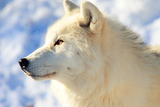 Close up of Arctic Wolf Photographic Print by David R. Tyner