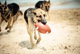 Dog Holding Ball in Mouth Fotografisk trykk av R. Brandon Harris