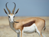 Springbok Photographic Print by  JeremyRichards
