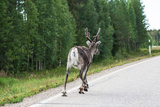Reindeer on the Road. Northern Finland Photo by  perszing1982