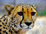 Cheetah Photographic Print by  bah69